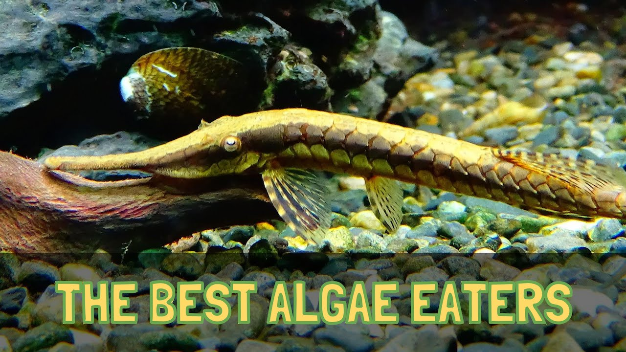 The top 5 algae eaters for freshwater aquariums hd youtube for Best eating fish