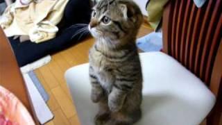 マンチカン(Munchkin) 耳折れ子猫  タッチン1 (He like  ???)
