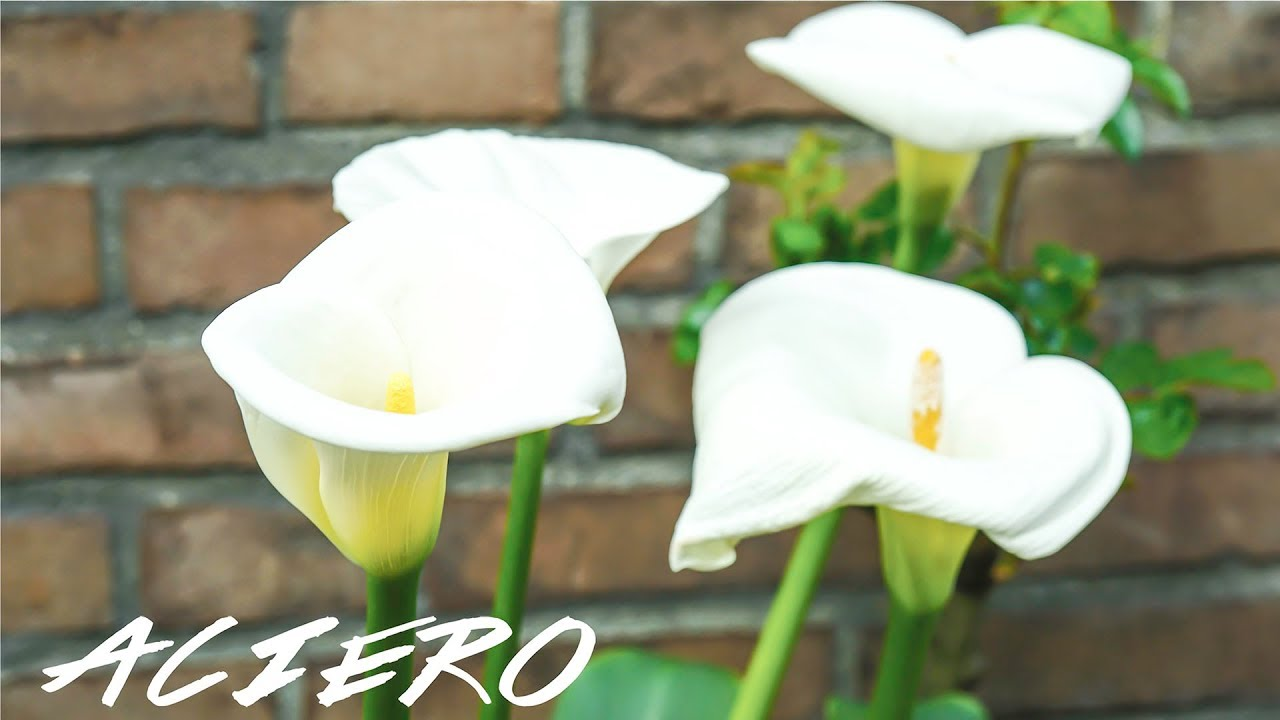 Calla Lilies Growing Indoors Outdoors Care Guide Youtube