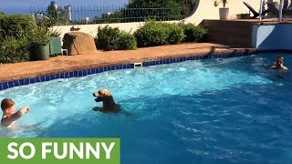 Golden Retriever plays game of piggy-in-the-middle