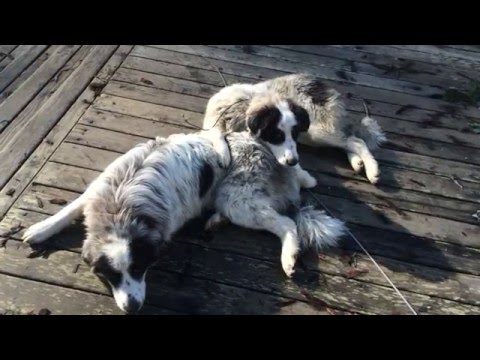 Great Pyrenees Livestock Guardian Dogs Protect Orchard