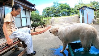 【ばあちゃんが先代犬にさせた遊び】同じ行動をとる子犬がおもしろいw ゴールデンレトリーバー GoldenRetriever