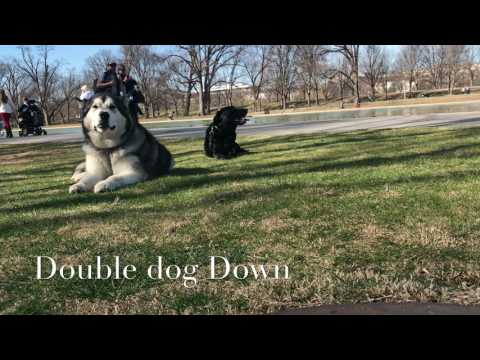 2 Dogs, Aggression Case!  Aggression Dog Training in Northern Virginia   Off Leash K9