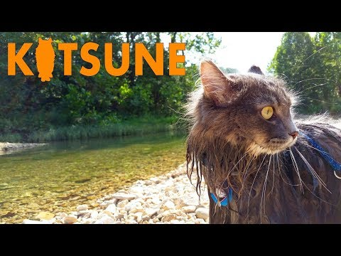 Siberian cat swimming on vacation