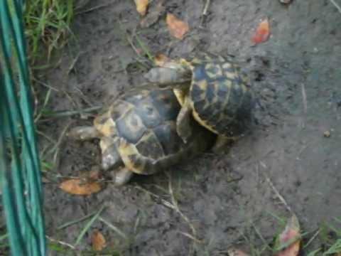 Accoppiamento tartarughe di terra youtube for Accoppiamento tartarughe