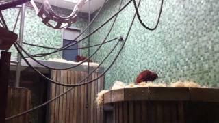 Sumatran Orangutan [Sumatra-Orang-Utan] at Berlin Zoo, Germany. 14.07.2011
