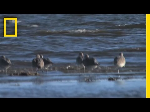 "Citizen ""Scientists"" Track Birds in Oil Zone 