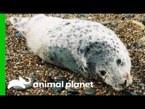 Resilient Baby Seal Survives 90 Mile Swim Across The Irish Sea | Dodo Heroes