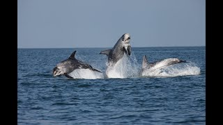 Risso's Dolphins - Bardsey Island, Wales   Whale and Dolphin Conservation