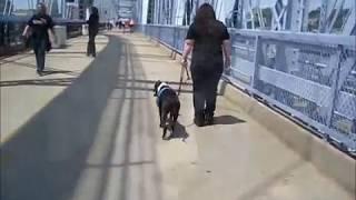 Vicious Pit Bull (by Law) Crosses Bridge Between Newport, Ky And Cincinnati, Ohio