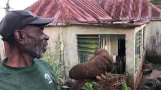 Yellow Yam tutorial - Lorrimers Trelawny, Jamaica December 2016