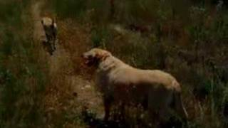 my dogs (golden labradors) in the woods