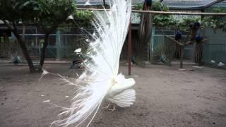 インド孔雀、白孔雀が激しく舞います。 動きだけでなく、羽根を擦る音も...