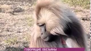 Говорящие обезьяны !