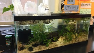 Adding Elodea and snails to classroom tank!