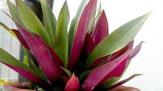 видео Аихризон – цветок, не требующий особого ухода. Фото и правила ухода за аихризоном – оберегом любви и семейного счастья