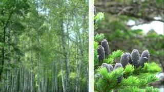 Минеева Р.А. Слайд-фильм «Леса России (деревья)» (окр. мир, 4 класс)