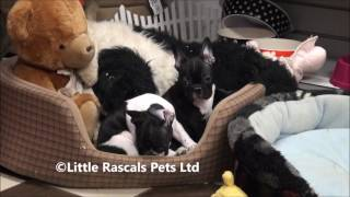 Little Rascals Uk Breeders New Litter Of French Bulldog Puppies