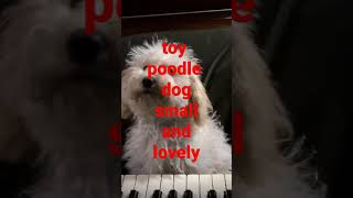 11 to 15 Inch Poodle Dog or Poodle Toy Dog Small, Lovey, Friendly Cute Dog, You Will Love It
