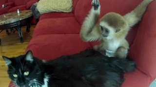 Смешные обезьяны. Подборка Топ 7(Смешные обезьяны | Смешные обезьянки | Смешные животные | Обезьяны и кошки | Обезьяна и зеркало | Обезьяны..., 2014-02-27T14:09:32.000Z)