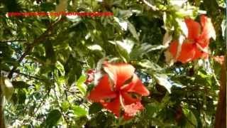 Beautiful Flower - Hibiscus rosa-sinensis (No.2)
