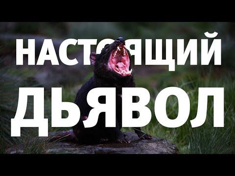 Дьявол среди нас. Тасманский дьявол - что за зверь такой?
