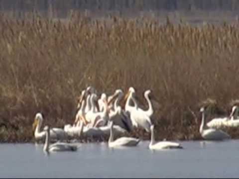 White Pelicans at Blackwater NWR