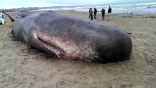 Cachalote varado en la playa de las Arenas, Valencia, España.