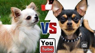 Той терьер против Чихуахуа. Toy Terrier against Chihuahua. Собаки. Батл собак.