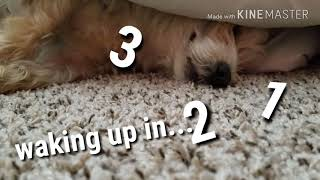 Waking up a cute puppy - Dachshund Schnauzer Mix (Schnoxie) Hilarious Dog Reactions!