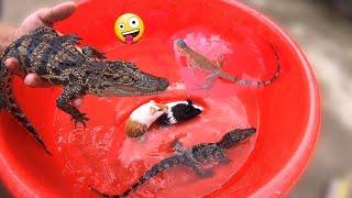 Tắm Cho Cá Sấu Và Tất Cả Thú Cưng / Quế Nghịch
