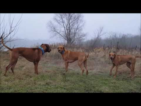 Rhodesian Ridgeback In Action