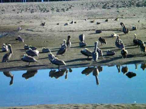 Flock of brown pelicans on beach
