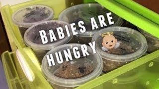 Time to FEED BABY TARANTULAS !!!