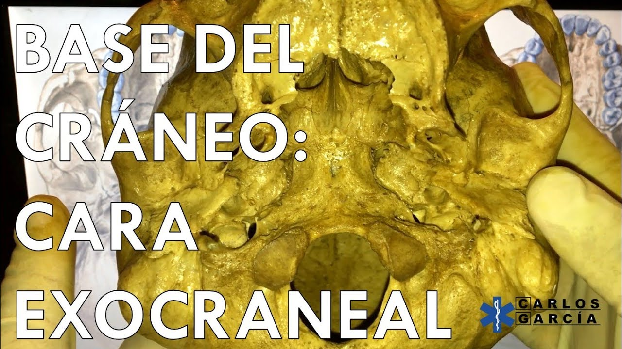 Anatomía - Base Exocraneal (Zona Facial, Yugular y Occipital) - YouTube