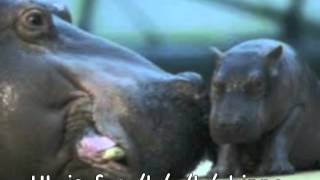 Hh is for Hippo