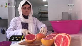 @Bereket TV Tarım Bülteni / Devlet Desteği Sayesinde Meyve Cipsi Üretim Tesisi Kurdu