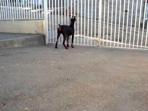 Dobermann filhote fazendo guarda