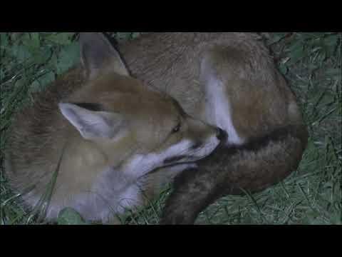 Red Fox Vulpes Vulpes Dog Fox Asserting His Dominance Over A Vixen
