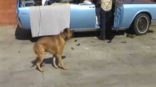 Los Angeles Dog Training Presa Canario