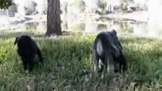 Dogs 101. Цвергшнауцер (miniature Schnauzer).wmv