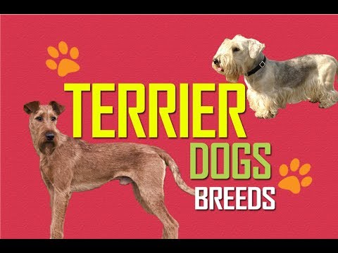 Terrier Dog Breeds | Terrier Dogs | Terrier Dog Groups | Pets | Top Terriers