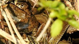 Užovka obojková (Natrix natrix),Ringelnatter,Grass snake