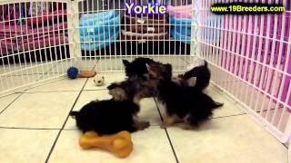 Yorkshire Terrier, Chiots, Pour, Vente, En, Alberta, Canada, Provinces, La Colombie Britannique, Man
