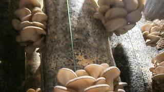 Вешенка. Сколько можно собрать гриба с одного грибного блока.