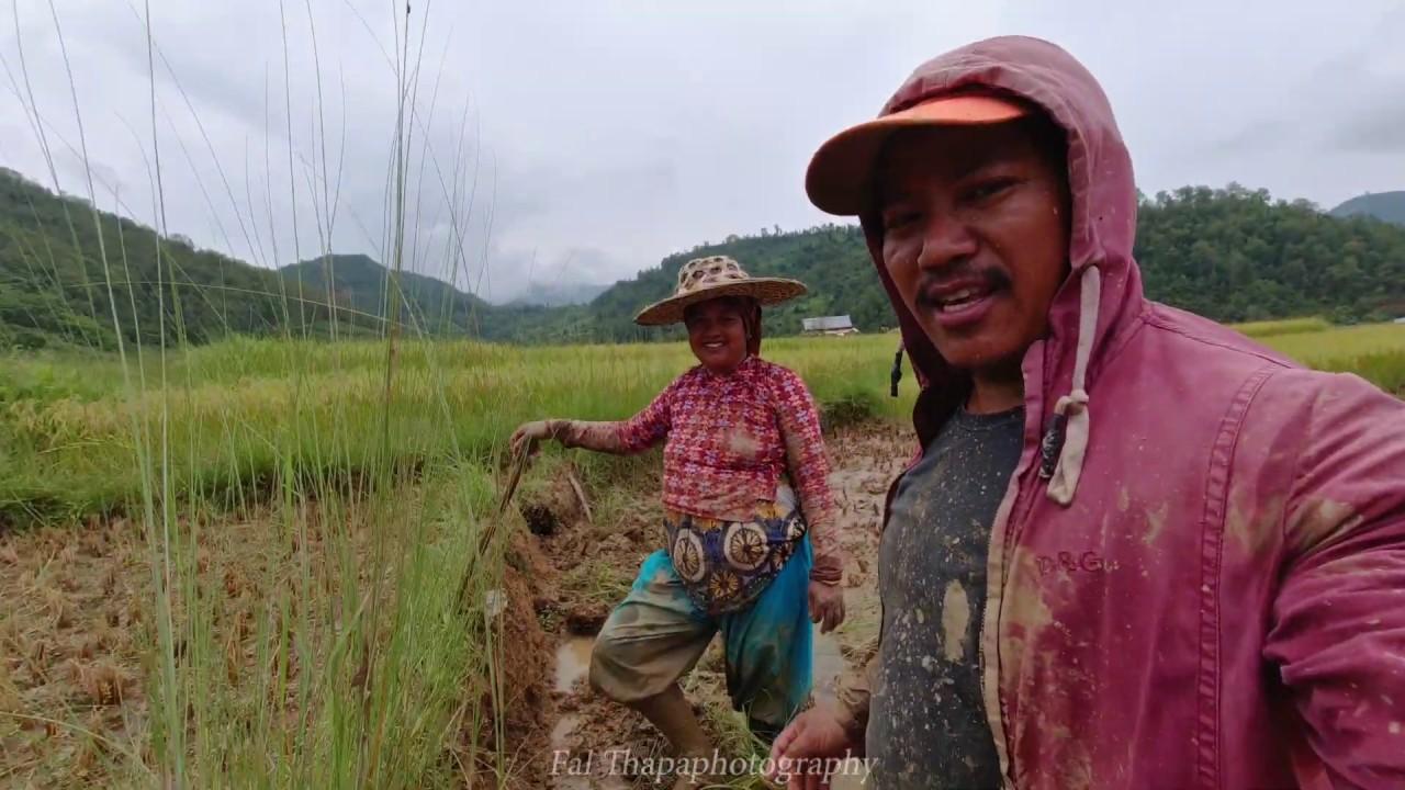 खेतमा अाली काट्दै । राेपाइकाेलागी पुर्व तयारी । Preparing for rice planting