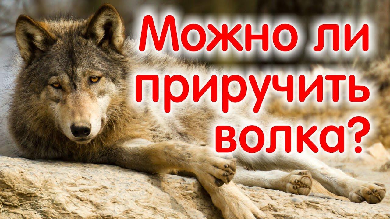 Дом волка, говорим о волках, медведях и русских псовых борзых