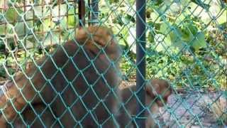 畑や果実の被害が多発で白山尾添地区で白山サルが捕獲されました。母サ...