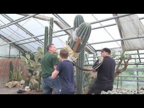 Kaktus XXL Umtopfen bei Kakteen Haage