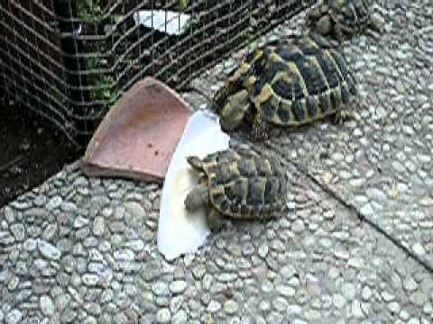Tartarughe hermanni ghiotte di osso di seppia mov youtube for Luce per tartarughe